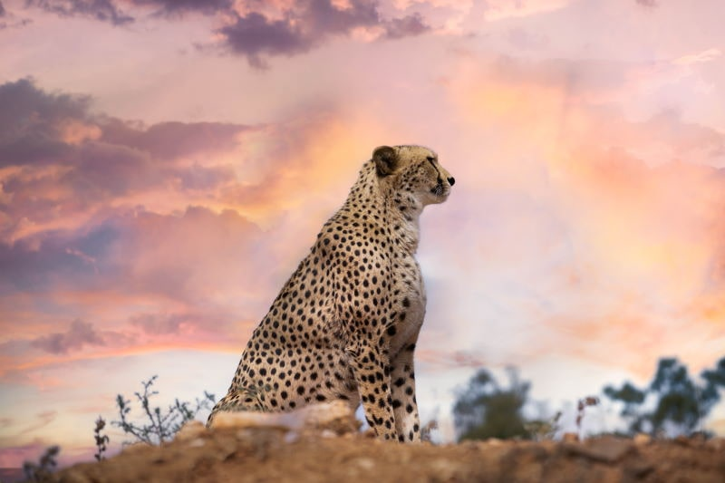 Leopard Sonne