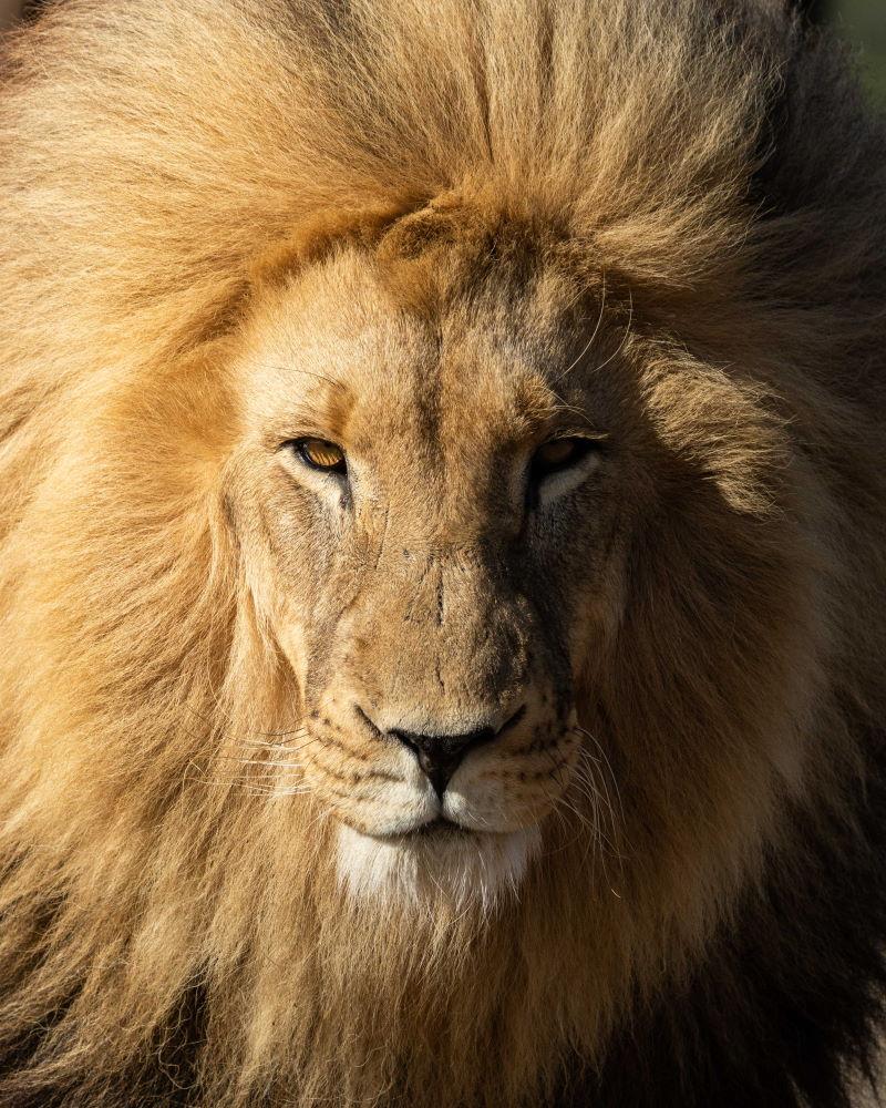 Löwe Nahaufnahme Portrait