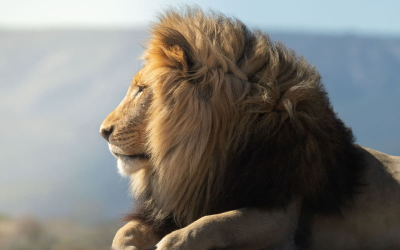 Löwe Profil