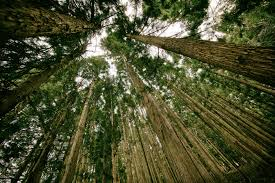 hoge bomen vangen veel wind