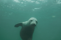 Seal playing with divers