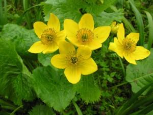 LKSRB 57 Caltha palustris var himalensis (1