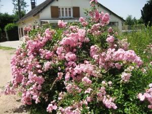Maison+roses