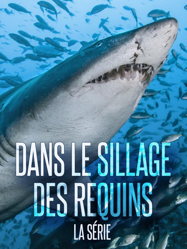 dans le sillage des requins
