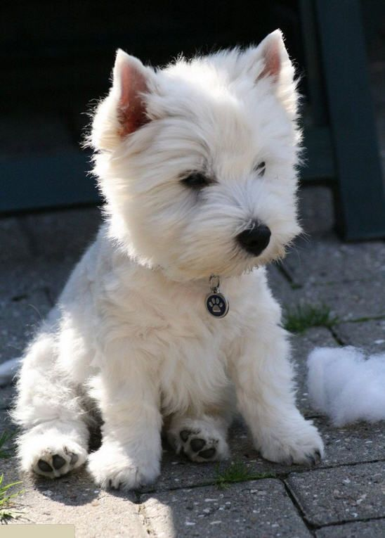 25 Reasons Why Westies Are Our Besties