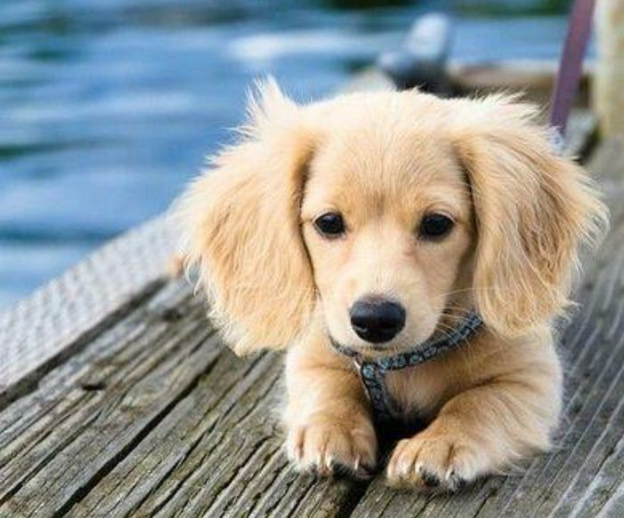 15 Awesome Dachshund Mixes You Won't Believe Are Real