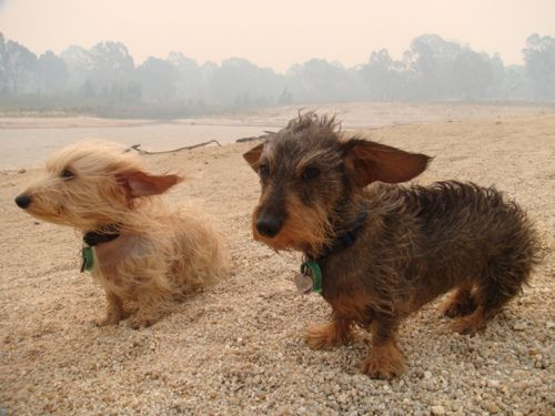 Miniature wire haired dachshund image