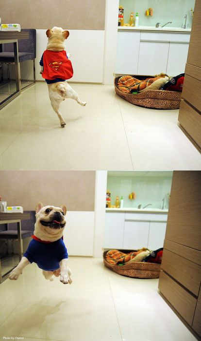 happy superman cape wearing frenchie