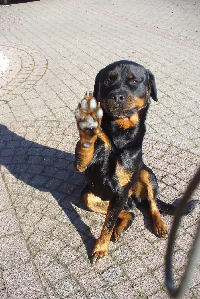 13 Reasons To Avoid Rottweilers At All Costs