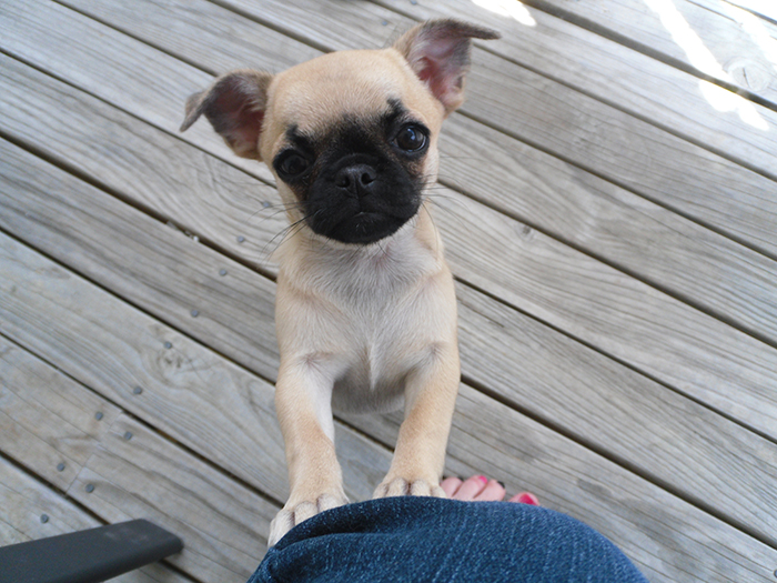 pug mixed with chihuahua 14 ridiculously cute chihuahua mixes you have to see to 4593