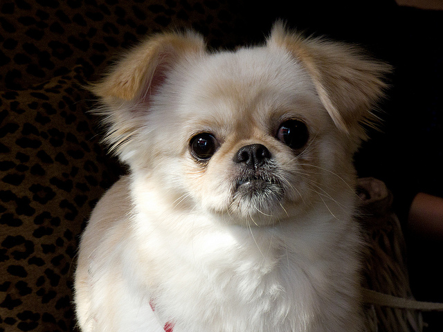chihuahua terrier mix how big does it get 14 ridiculously cute chihuahua mixes you have to see to 3824