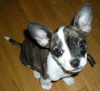 bull terrier chihuahua mix 14 ridiculously cute chihuahua mixes you have to see to 8714