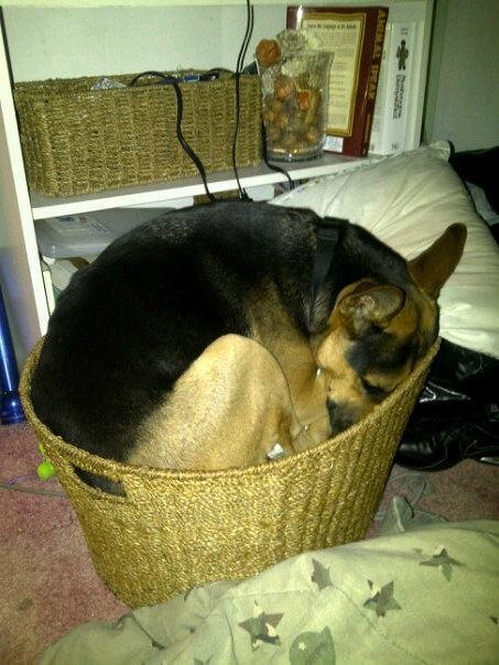 18 Of The Most Insanely Awkward German Shepherd Sleeping