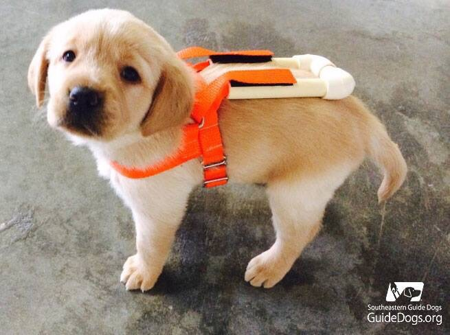 labrador guide dog puppy