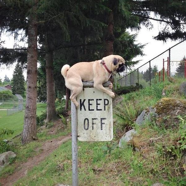 pug breaking the law