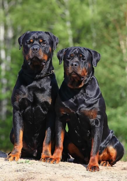 26 Photos Prove Rottweilers Are Most Awesome Breed EVER