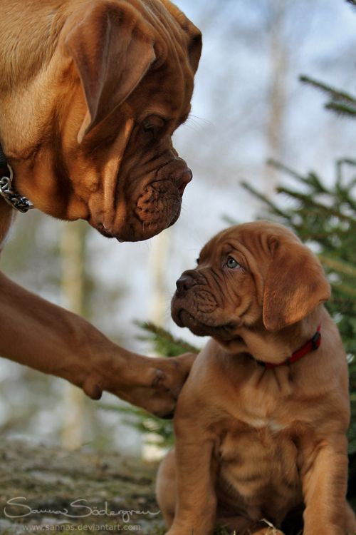 17 Reasons Why Getting A Dogue is The Best Thing You Could Ever Do BowWow Times puppy french mastiff cute adorable eyes brown fur