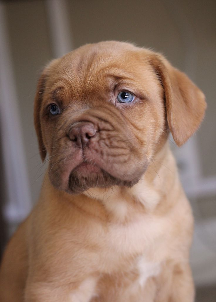 17 Reasons Why Getting A Dogue De Bordeaux Is The Best Thing You Could Ever Do BowWow Times puppy french mastiff cute adorable blue eyes brown fur