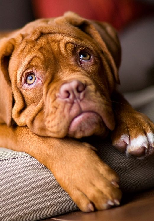 17 Reasons Why Getting A Dogue De Bordeaux Is The Best Thing You Could Ever Do BowWow Times puppy french mastiff cute adorable eyes brown fur