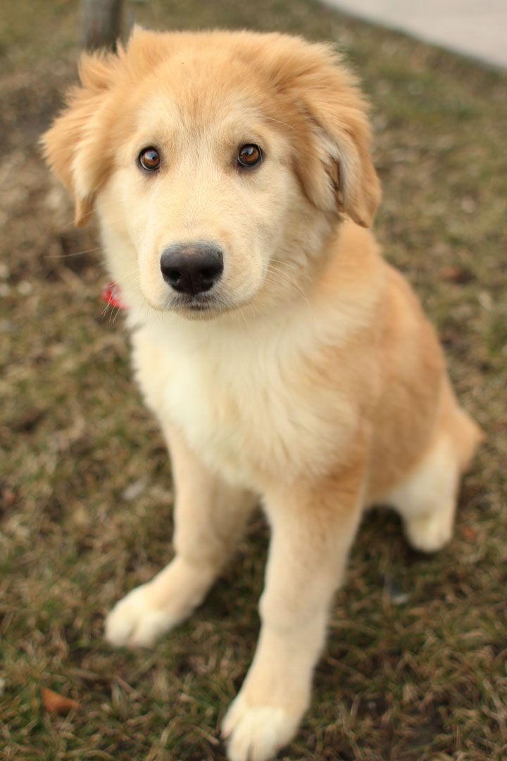 19 Breathtaking Husky and Golden Retriever Mixes Mix Cross Breed Goberian Goberians BowWow Times Crossed Cute Siberian Huskies