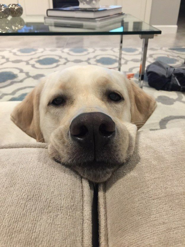 16 Expressions Every Labrador Parent Will Instantly Recognise BowWow Times