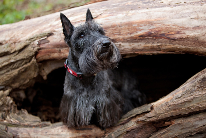 20 Reasons Scottish Terriers Truly Are One Of The Best Breeds Ever ! BowWow Times Scotties