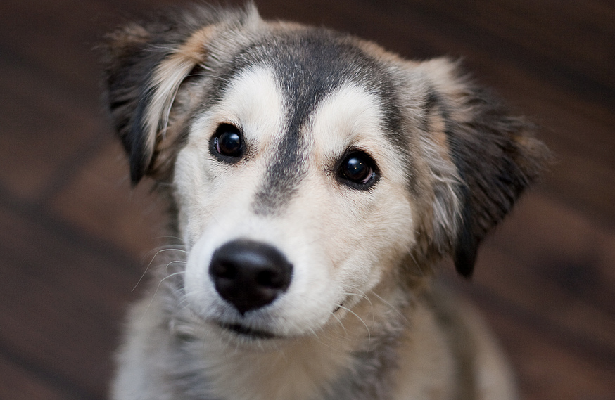 18 Breathtaking Husky Golden Retriever Mixes