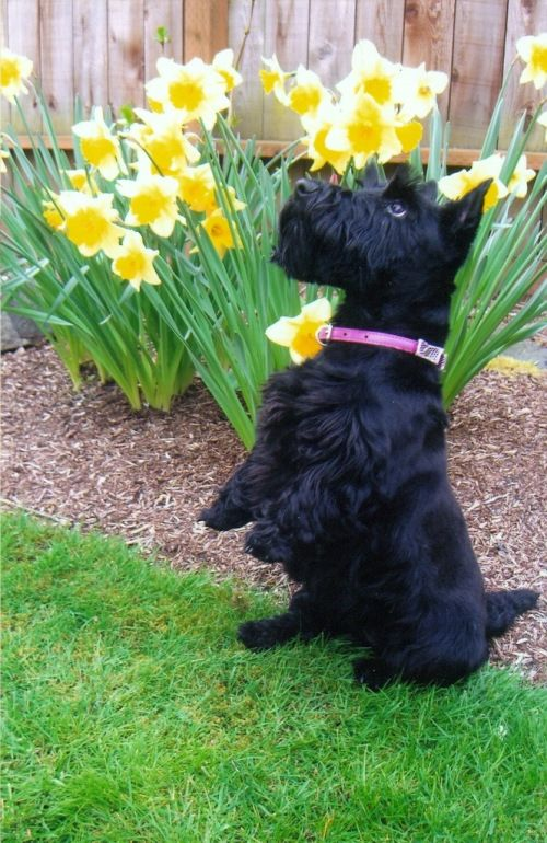 19 Reasons Scottish Terriers Are Truly One Of The Best