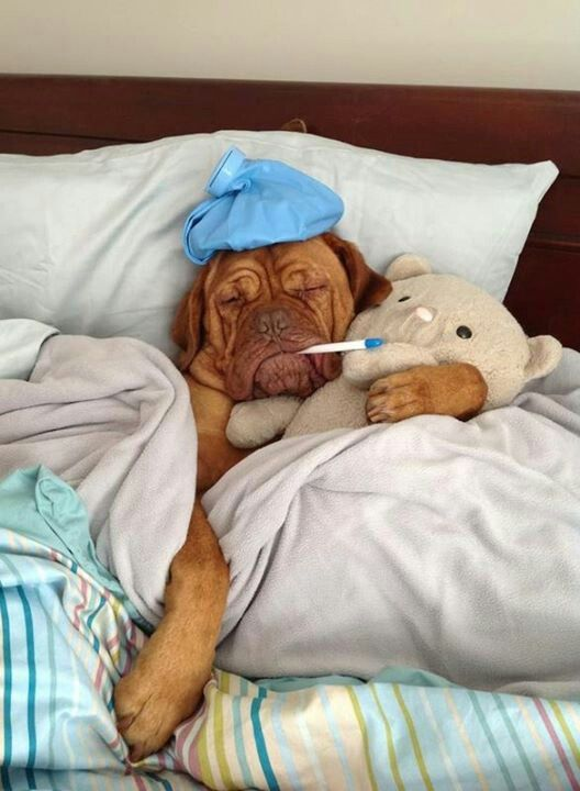 17 Reasons Why Getting A Dogue is The Best Thing You Could Ever Do BowWow Times puppy french mastiff sick pulling a sickie