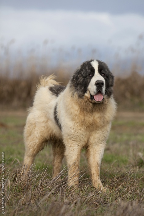 Pyrenean Mastiff a breed of the Spanish Pyrenees BowWow Times