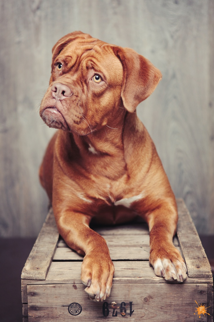 18 Of The Biggest And Most Beautiful Mastiff Breeds In The World BowWow Times