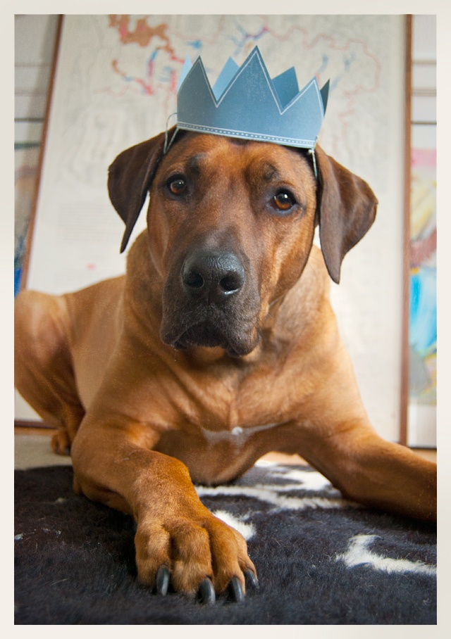 21 Times Rhodesian Ridgebacks Proved They Re The Most