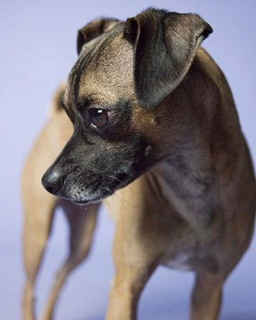 italian greyhound pug mix cross Chugs, Schrugs, Fruggs And Puggits, Here's 10 Oh-So Peculiar Pug Mixes !