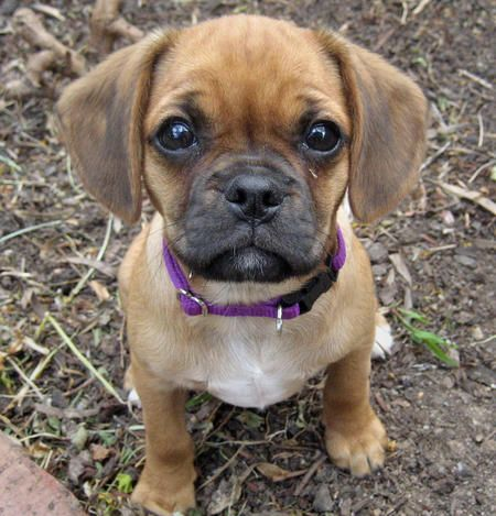pug and weiner dog mix 10 of the most peculiar but absolutely gorgeous pug mixes 5129