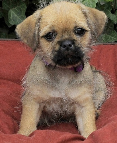 yorkie mix with pug 10 of the most peculiar but absolutely gorgeous pug mixes 2238