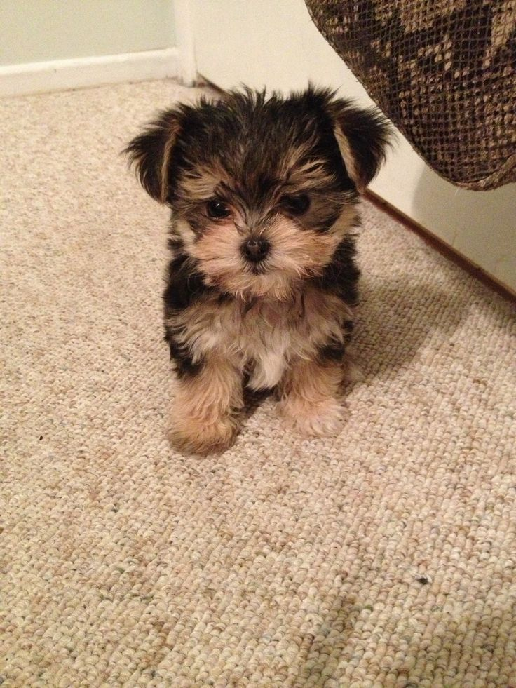 maltese mix with yorkie 13 gorgeous maltese mixes and their ludicrous names 7516