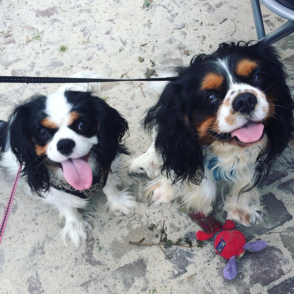 22 Photos That Prove King Charles Spaniels Are Simply The Best BowWow Times