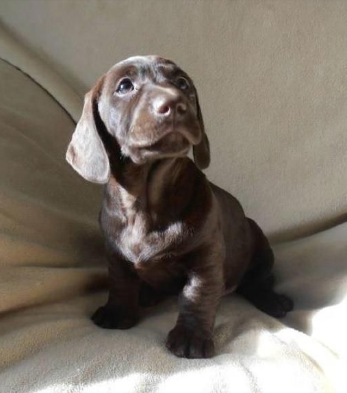 12 Utterly Gorgeous Labrador Mixes You Need In Your Life