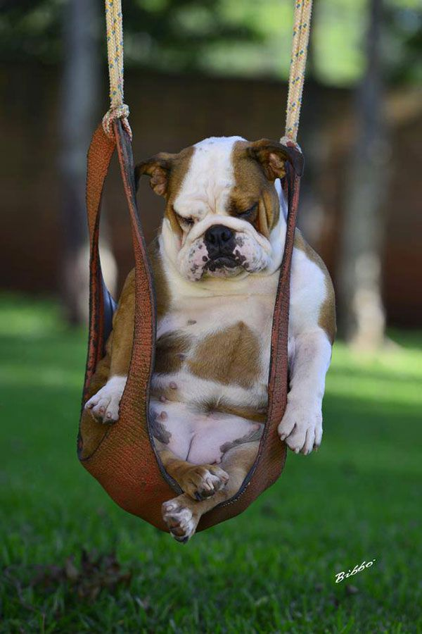 25 Hilarious Photos That Prove English Bulldogs Can Sleep
