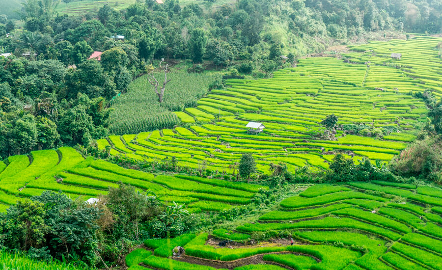 explotacion_agricola_arroz_tailandia