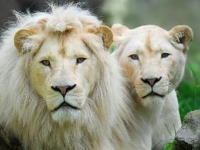 Ouwehands leeuwen