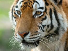 Ouwehands tijger