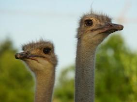 busreis struisvogelboerderij