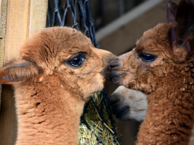 busreis alpacaworld