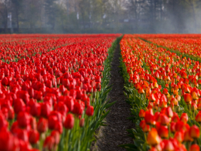 The Tulip Experience Amsterdam