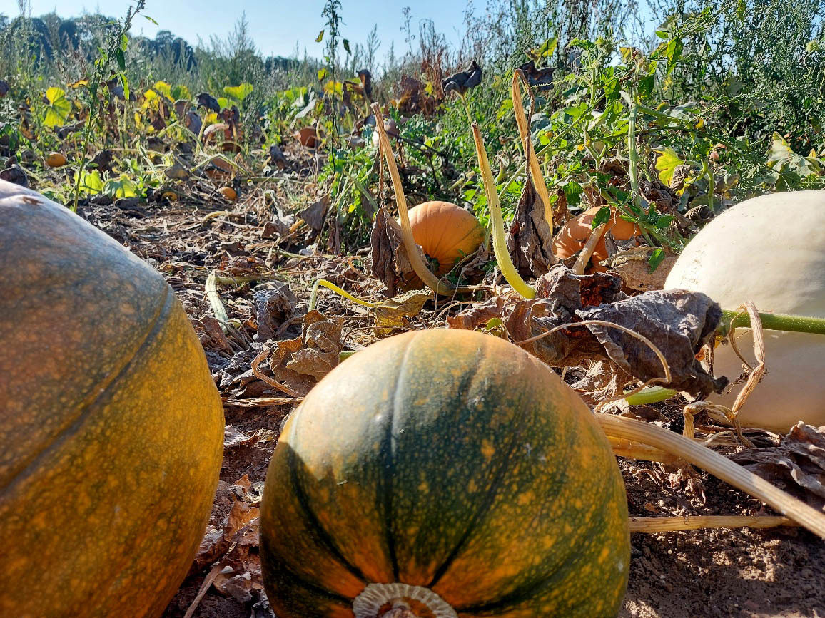 A Sea of Pumpkins for all to Enjoy at Rougham Estate