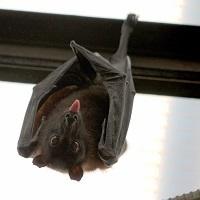 Bat Walk at Ickworth for National Bat Appreciation Day 2020