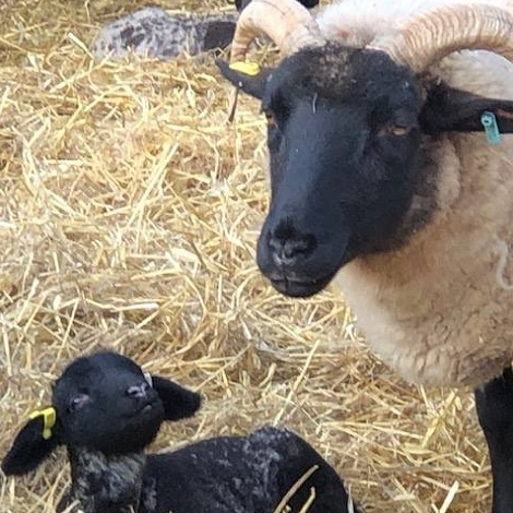 Lambing Weekends at Kentwell