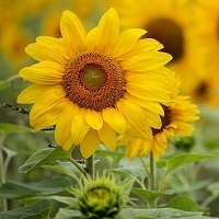 See the Sunflowers at The Rougham Estate