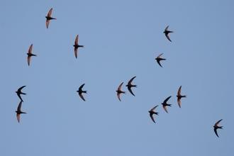 Wildlife Live Webinar - Secret life of Swifts